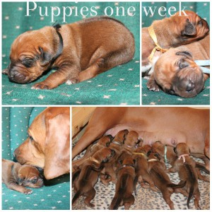 pups one week